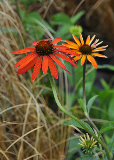 _Echinacea purpurea_,  'Hot Summer'. Foto: Bernt Svensson