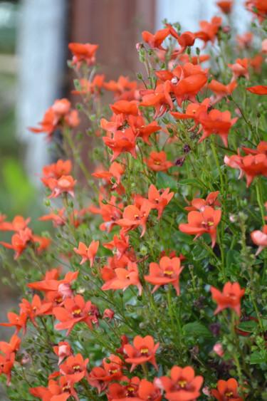 Tvillingsporre, Diascia barberae 'Piccadilly Orange', vid husknuten. Foto: Blomsterfrämjandet