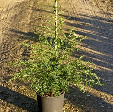 _Tsuga heterophylla fk Södra Hagunda_, tålig jättehemlock. Foto: Bo Andersen, Splendor Plant