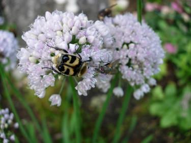 En lökväxt som lockar till sig insekter. Djurlivet är viktigt för en blomstrande trädgård!