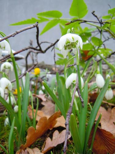 Galanthus nivalis 'Flore Pleno' Foto: Sylvia Svensson