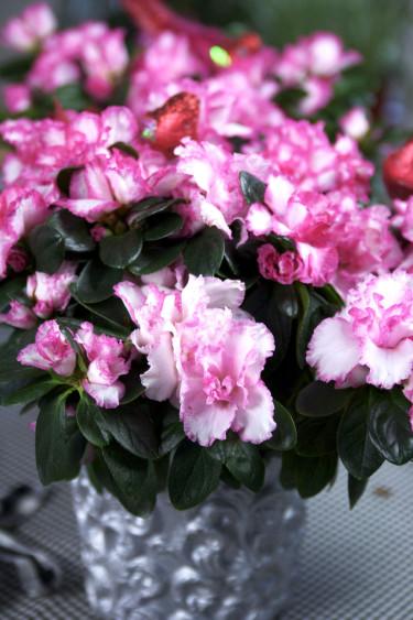 Azalea, även kallad fönsterazalea, utgör ett vackert blickfång. Foto: Blomsterfrämjandet