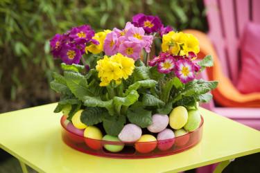 Flera primula tätt tillsammans med dekorationsägg runt om blir fint som på påskbordet. Foto: Floradania