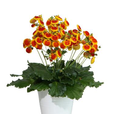Toffelblommans skira blomställningar ser ut att sväva fritt. Foto: Blomsterfrämjandet/Selecta