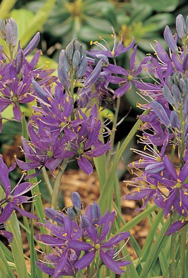 Ätlig stjärnhyacint, _Camassia quamash_ 'Blue Melody'. Foto: Blomsterfrämjandet/IBC.