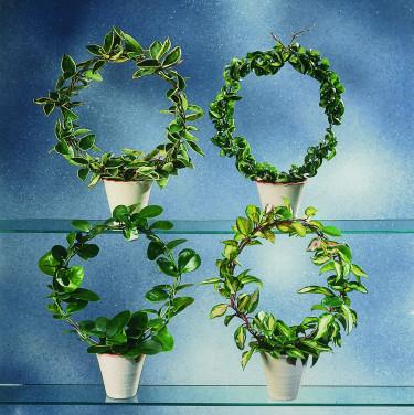 Hoya kallas även porslinsblomma.  Foto: Floradania