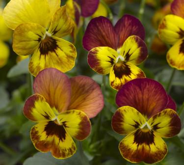 Pensé, _Viola_ (Tricolor-Gruppen), 'Deltini Copperfield'. Foto: Blomsterfrämjandet/Syngenta