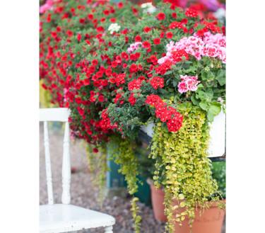 Sommarblomsplantering med kärlekspelargon 'Calliope Rose Splash' och 'Bright Red' samt trädgårdsverbena 'Lanai Scarlet with Eye' och 'Lanai Limegreen'.