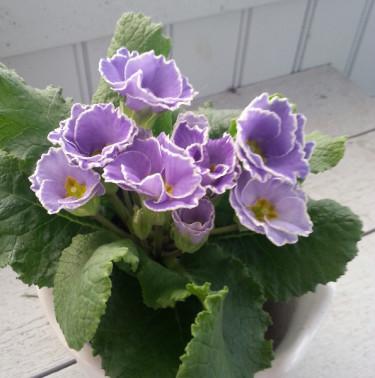 Primula vulgaris 'Sirococco Blue'. Säljs i OdlaShop.