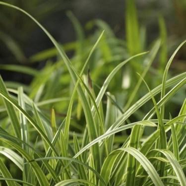 Japansk starr, Carex morrowii 'Variegata'. Foto: Blomsterfrämjandet