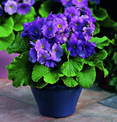 Fönsterviva, _Primula obconica_ 'Embrace Deep Blue'. Foto: Blomsterfrämjandet/Syngenta