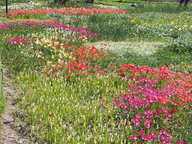Lökmatta i Gbg's Botan med **botaniska tulpaner** i början på maj Foto: Bernt Svensson