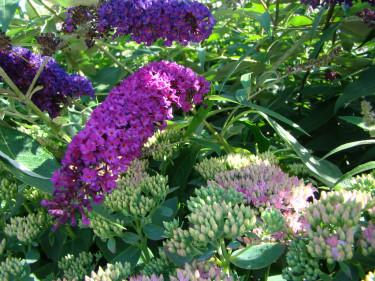 Buddleja, eller fjärilsbuske, och kärleksört gillas båda av fjärilar.
