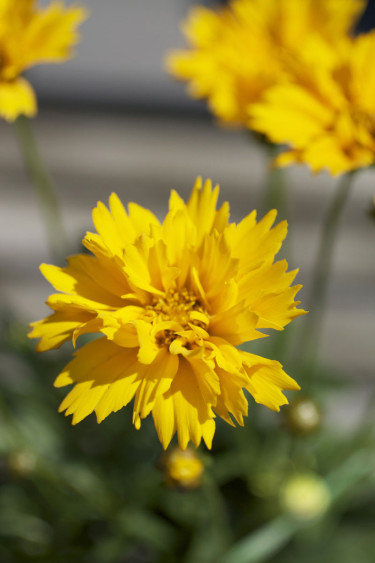 Flicköga, _Coreopsis grandiflora_. Foto: Blomsterfrämjandet.
