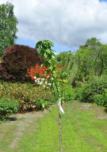 Ett färdigtklippt ungt fruktträd.Foto: Bernt Svensson