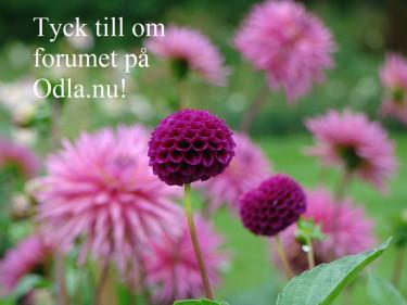 Tävla om blomsterfröpåsar i [forumet](http://forum.odla.nu/index.php?showtopic=112959) på Odla.nu!