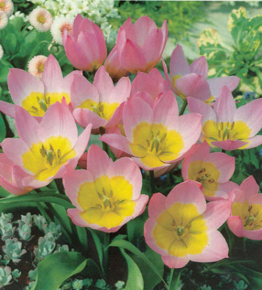 _Tulipa saxatilis_.