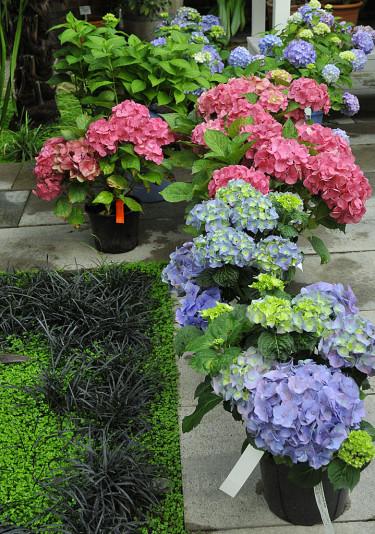 Frodiga hortensior väntar på köpare. Sorterna 'Belle' (rosa) och ES 'The Original'. Foto: Sylvia Svensson