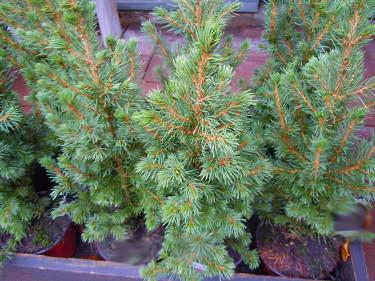 Picea clauca 'Conica', sockertoppsgran  Foto: Sylvia Svensson