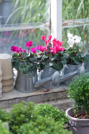 Cyklamen planterade i vattenkannor visar hur fina de står sig mot grått och zink.  Foto: Blomsterfrämjandet/Minna Mercke Schmidt.