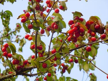 Frukterna på körsbärskornellen lyser röda på hösten och fåglarna älskar dem! Foto: Sylvia Svensson