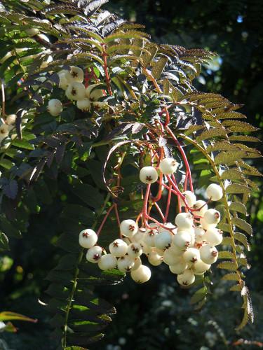 Tänk på att det inte bara är blommor som har färg - även bladverk och bär är mycket dekorativa! Här pärlrönn.
