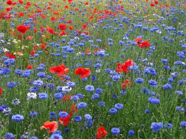 Har du gott om plats kan du få ett riktigt blomsterfält!  Här kornvallmo med blåklint. Foto: Sylvia Svensson