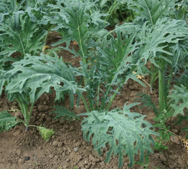 Bladsallat 'Kale Fizz'.