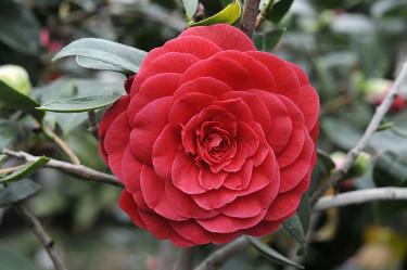 _Camellia japonica_ 'Coquettii' Foto: Sylvia Svensson