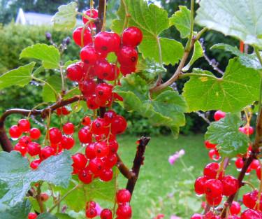 Röda vinbär.Foto: Bernt Svensson