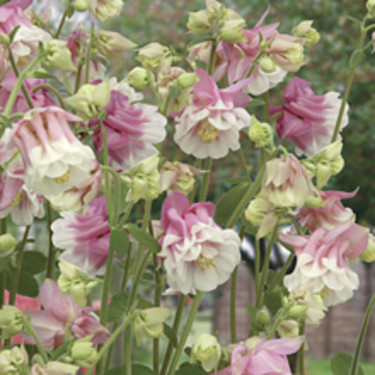 Akleja, _Aquilegia vulgaris_, 'Petticoat Pink'.  Foto: Mr Fothergill's
