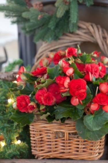 Färgstark begonia i korg.  Foto: Blomsterfrämjandet/Minna Mercke Schmidt