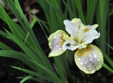 Iris, _Iris sibirica_ 'Sound and Spirit'. Foto: Bernt Svensson