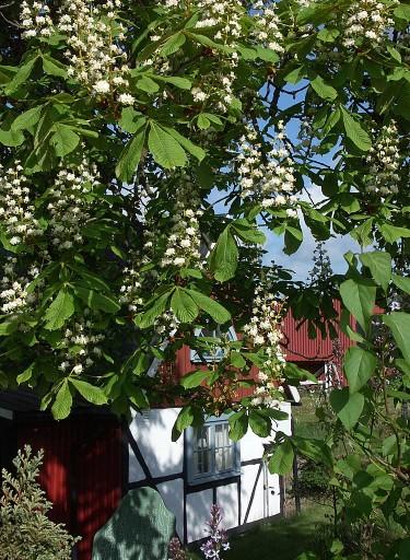 Hästkastanjen blommar i maj. Foto: Bernt Svensson