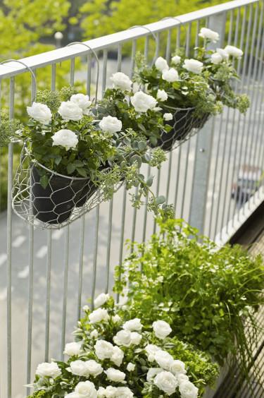 Rosor på rad istället för en traditionell balkonglåda blir väldigt fint!  Foto: Floradania