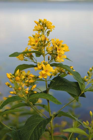 Även strandlysing, _Lysimachia vulgaris_ växer på frisk och fuktig mark.