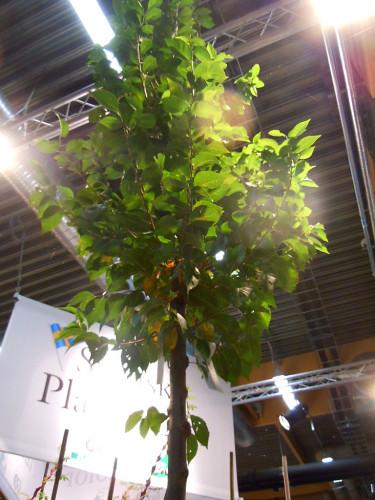 Björkhaga Ulmus 'New Horizon', Resista'. Foto: Sylvia Svensson