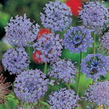 Blåparasoll, _Trachymene caerulea_, 'Blue Lace'. Foto: Mr Fothergill's