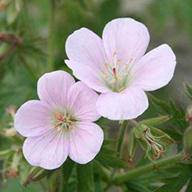 Ängsnävan 'Bakers Pink', _Geranium pratense_, är ljuvlig!  Beställ här: [Perennerbjudande](http://erbjudande.odla.nu/bpr/?p=1)