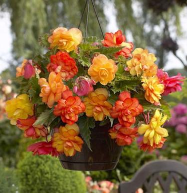 Begonia x tuberhybrida 'Golden Balcony'