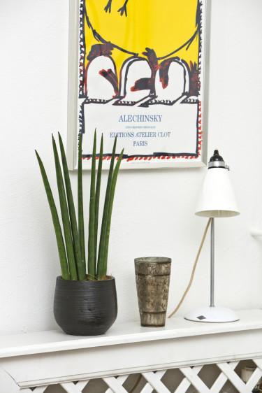 Bajonettliljan, även känd som svärmors tunga, är en annan växt som både är lättskött och populär. Foto: Floradania