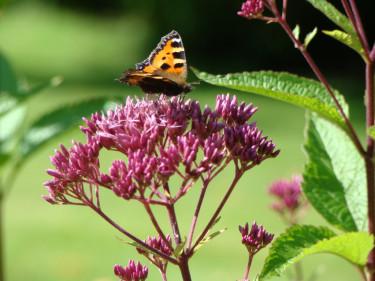 Rosenflockel, _Eupatorium maculatum_, är en fin hösblommare som älskas av fjärilar. Foto: Katarina Kihlberg