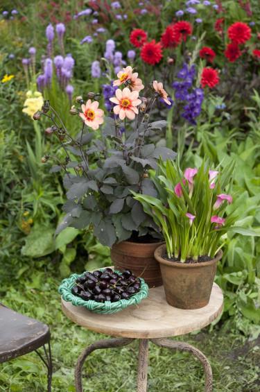 Bord med rödbladig dahlia. Foto: Blomsterfrämjandet
