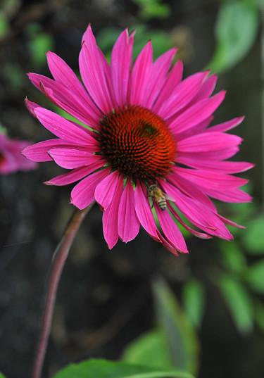 _Echinacea purpurea_ 'Ruby Glow'. Foto: Sylvia Svensson