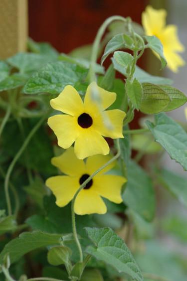 Svartöga klättrar och blommar i överflöd.  Foto: Blomsterfrämjandet/Mäster
