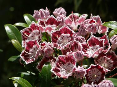 Kalmia, _Kalmia angustifolia_, 'Minuett'. Foto: Sylvia Svensson
