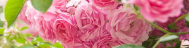 Barrotade rosor