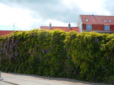 Blåregn täcker hela muren! Foto: Sylvia Svensson