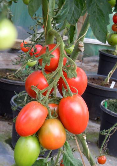 Tomatplantorna bör stå luftigt. Foto: Sylvia Svensson