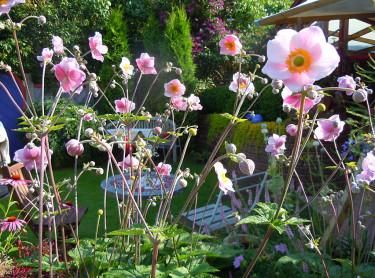 Höstanemoner börjar blomma nu! Foto: Sylvia Svensson